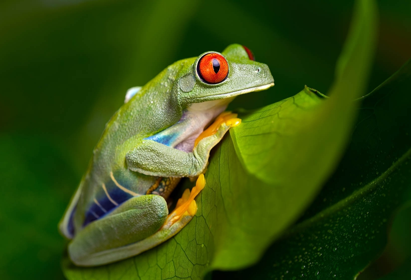 Snake Eyes Hd Wallpapers Red Eyed Tree Frog 187 Amphibians 187 Permanent Exhibition