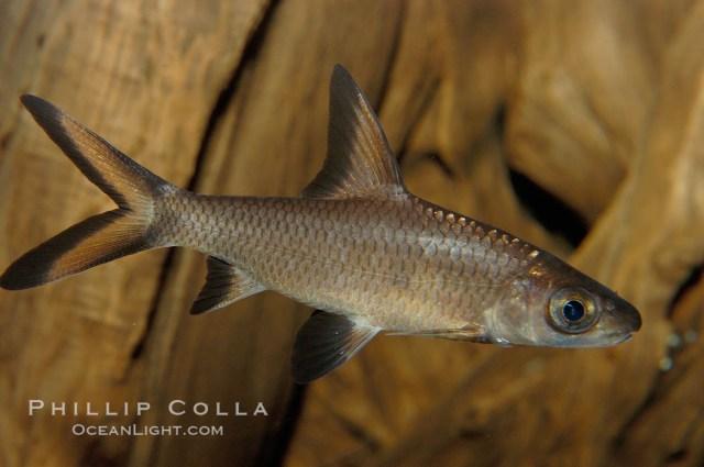 Bala Shark Photo, Stock Photograph of a Bala Shark, Balantiocheilus