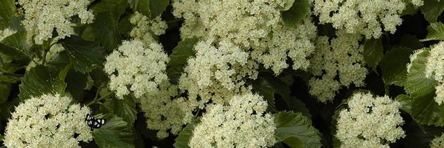 Viburnum dentatum flowers 900x300