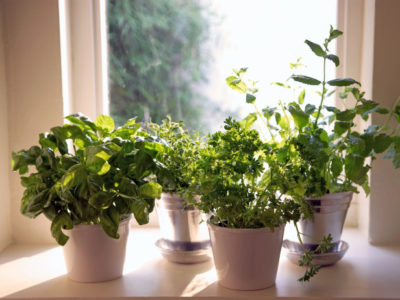 7 Herbs You Can Grow Indoors Year-Round | Off The Grid News