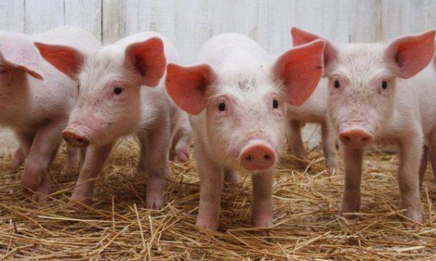Allarme in Oltrepo' per la riduzione dei maiali