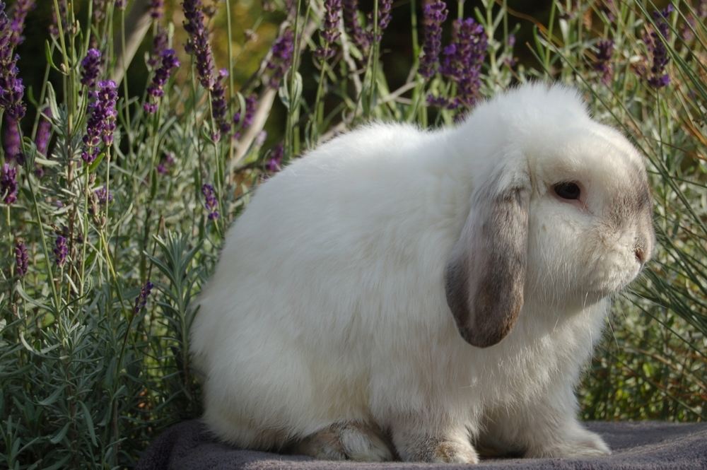 Holland Lop Color Chart - Holland Lop Rabbit Colors - Ohio Holland Lops