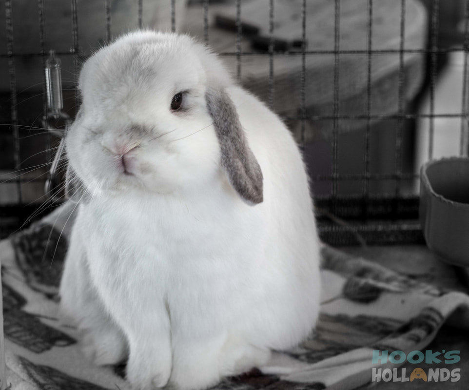 Holland Lop Color Guide with Photos - Ohio Holland Lops