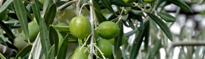 picual-olives-green-2
