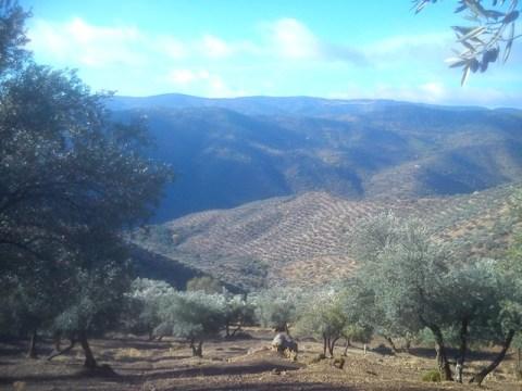 ATRIAS Tratamiento Olivar de Sierra Ecológico Los Pedroches
