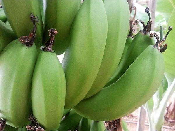 bananes-kritis1