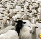 sempre tem uma ovelha negra