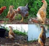 a galinha que pensava ser pinguim