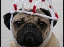 Cão pug faz sucesso na web com paródia de Stranger Things
