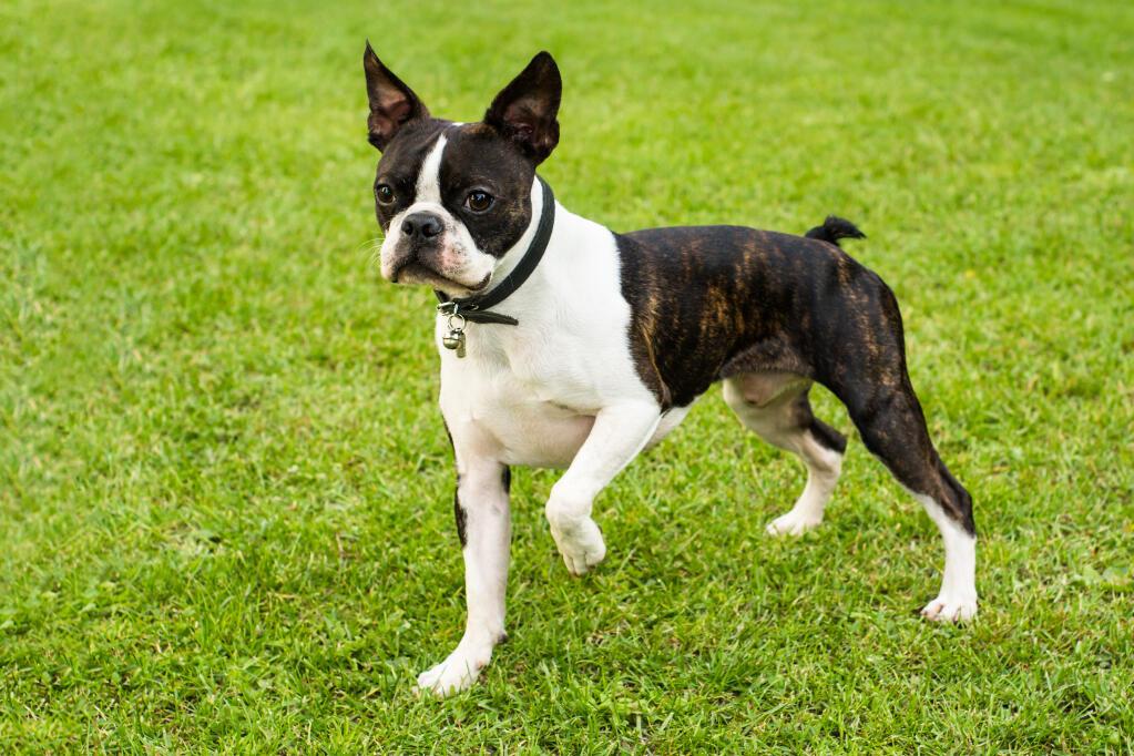Cute Rottweiler Puppy Wallpaper Boston Terrier Dogs Breed Information Omlet