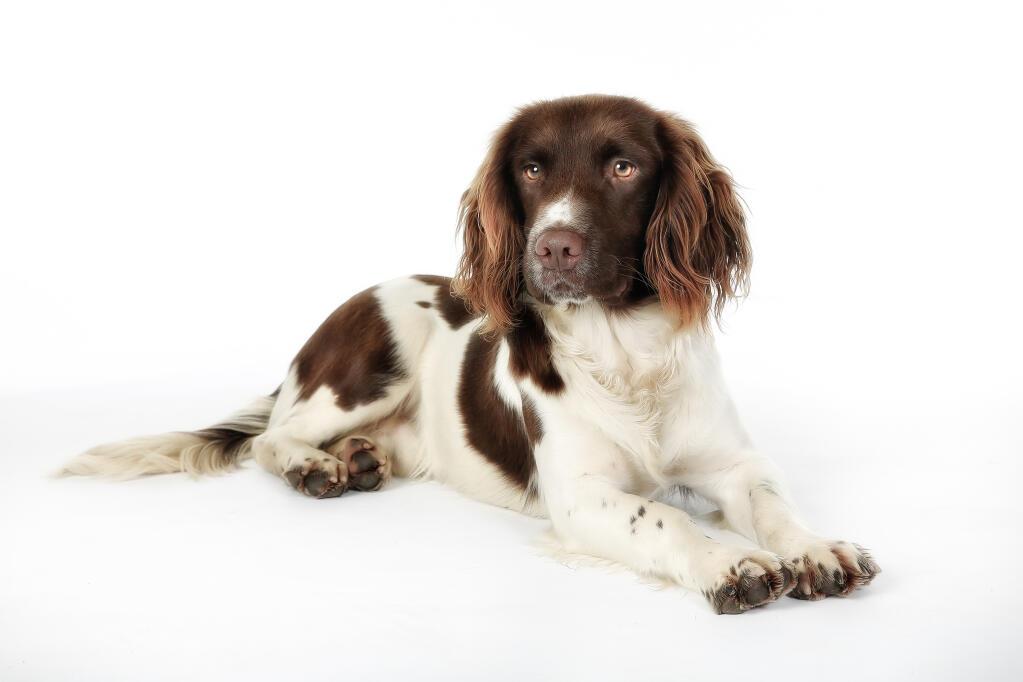 Cute Saint Bernard Puppies Wallpaper Springer Spaniel English Dogs Breed Information Omlet