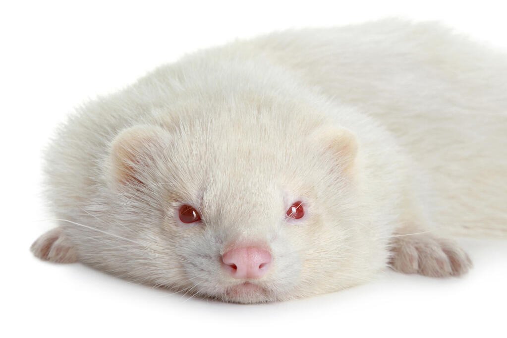 Cute Bees Wallpaper Albino For Sale Ferrets Breed Information Omlet