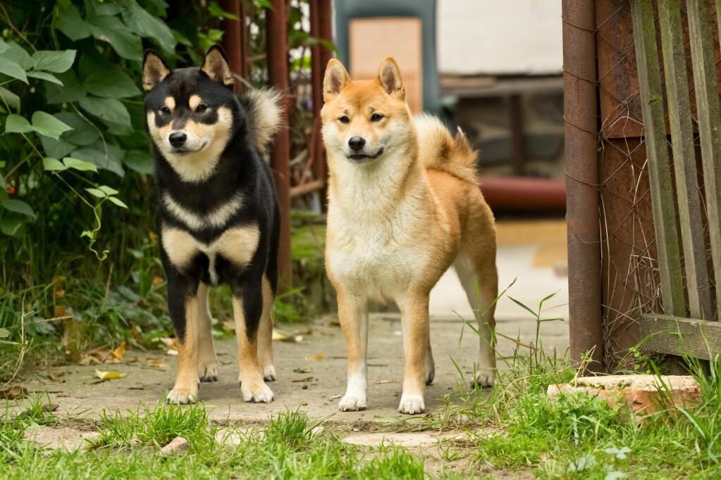 Cute Shih Tzu Puppies Wallpaper Japanese Shiba Inu Hunde Informationen Zu Den