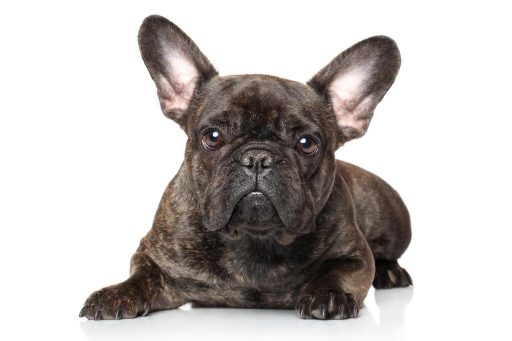 Cute Rottweiler Puppy Wallpaper Franse Buldog Honden Rasinformatie Omlet
