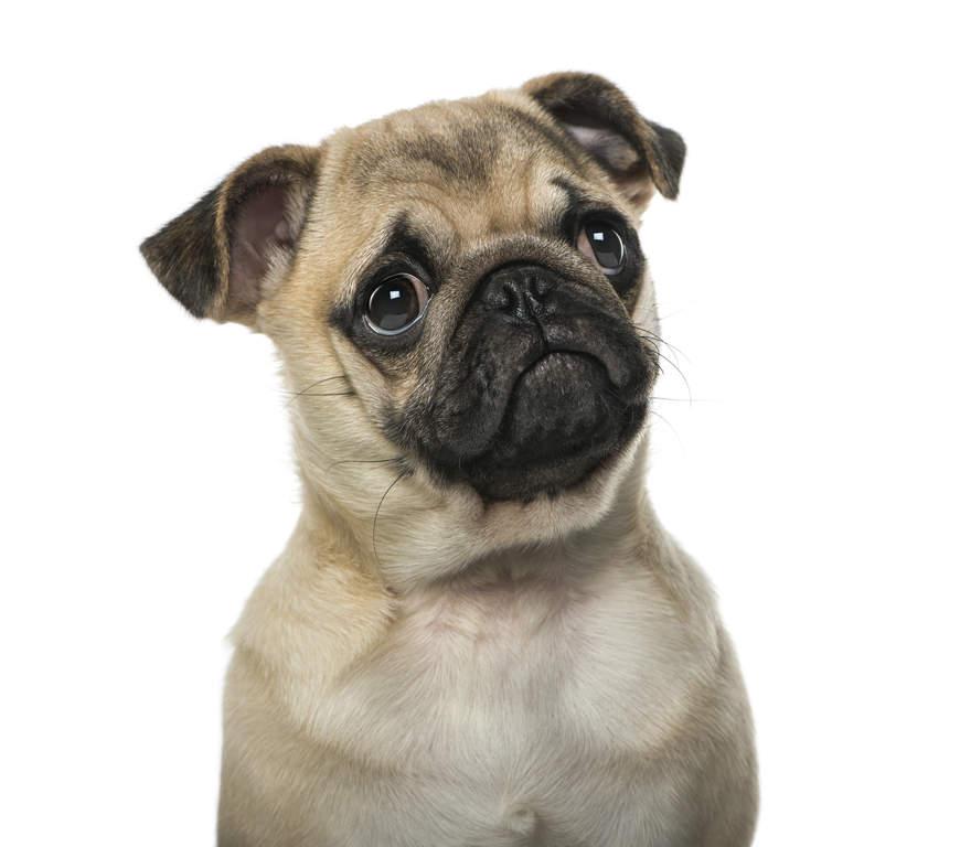 Cute Shih Tzu Puppies Wallpaper Mopshond Honden Rasinformatie Omlet