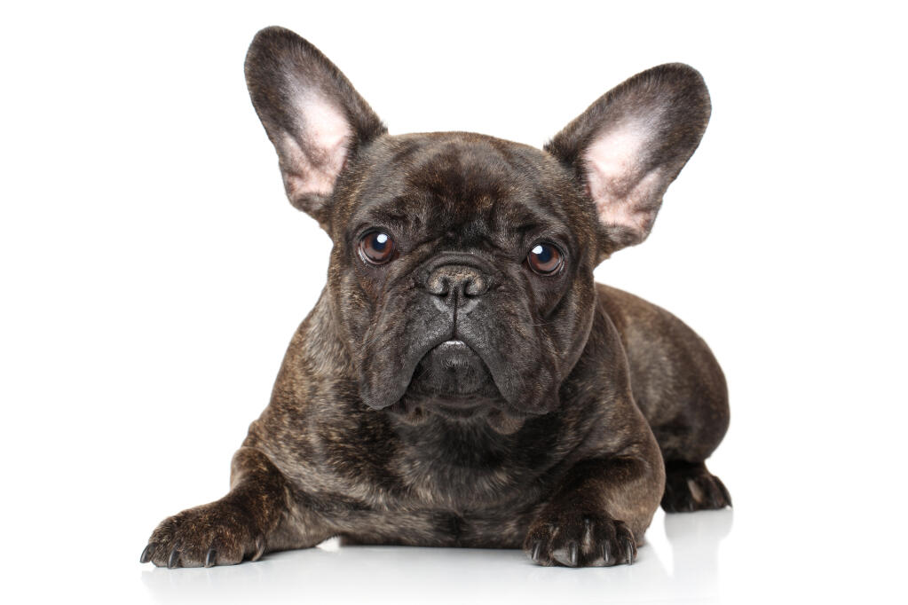 Cute Yorkie Wallpaper French Bulldog Dogs Breed Information Omlet