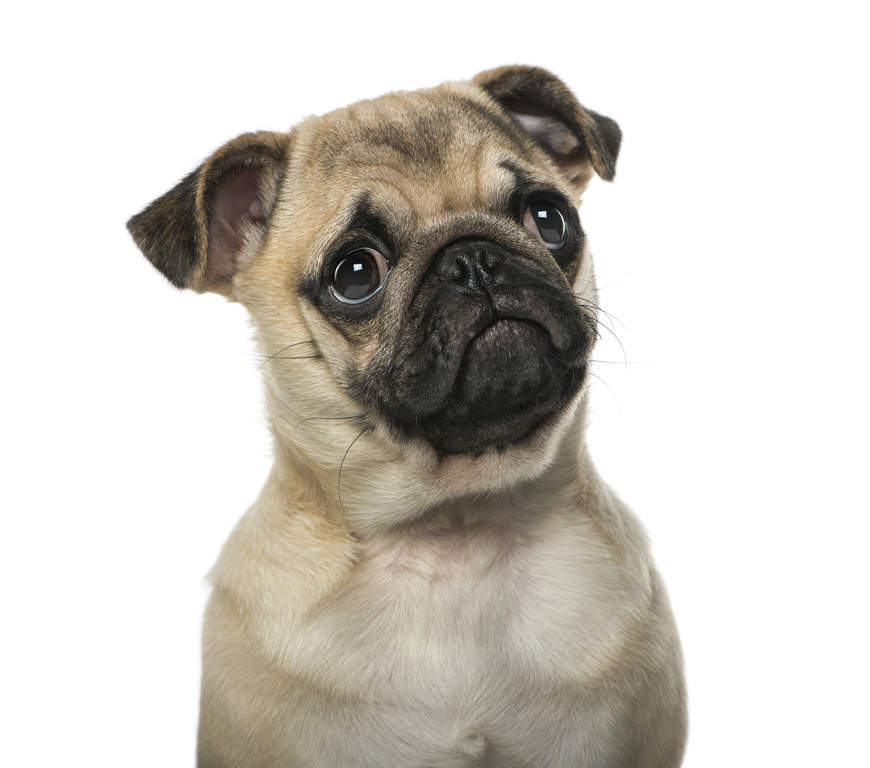 Cute Rottweiler Puppy Wallpaper Pug Dogs Breed Information Omlet