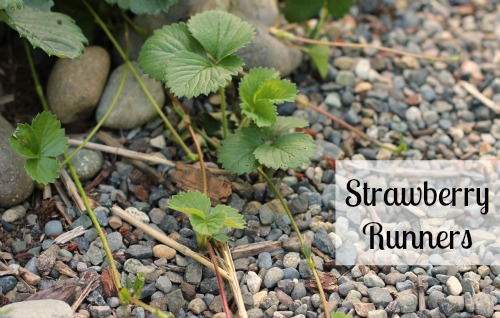 pictures of strawberry runners