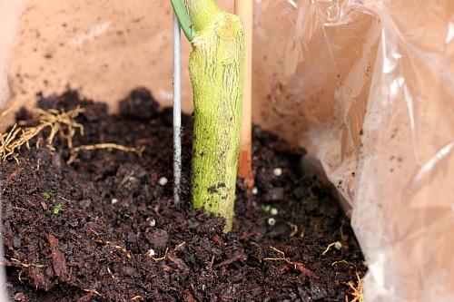 meyer lemon tree root ball