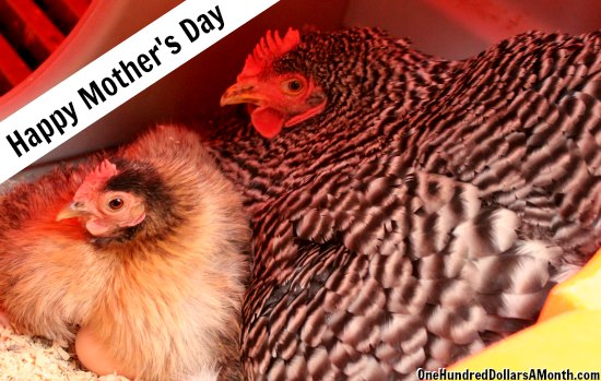 mother and baby chicken hen