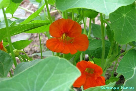 orange nasturtium flower