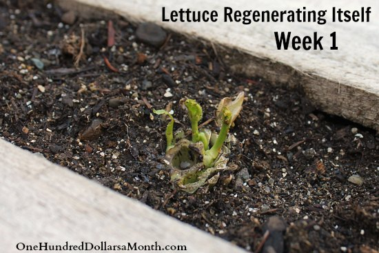 lettuce regenerating itself