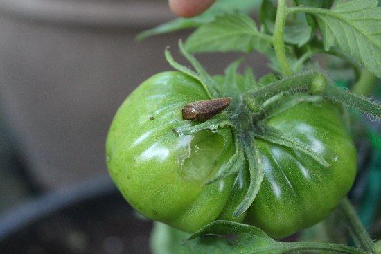 slug eating tomato