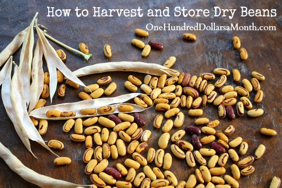How to Harvest and Store Dry Beans