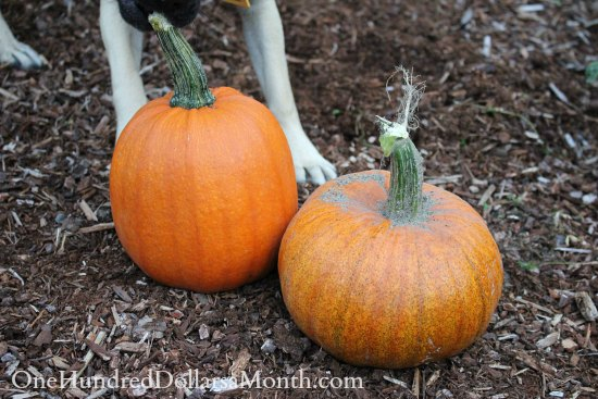 sugar pie pumpkins