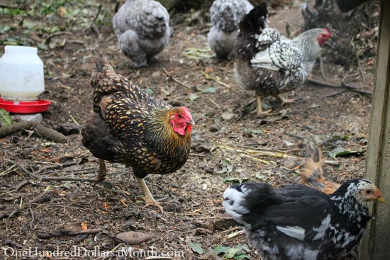 Adding New Chickens into Your Existing Flock