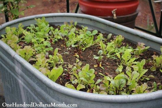 winter lettuce in a tub
