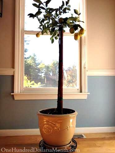 potted meyer lemon tree