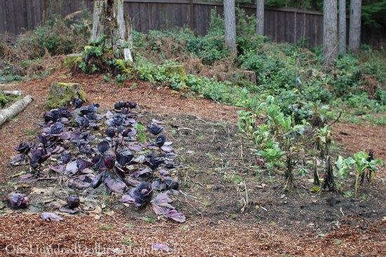 rotting cabbage