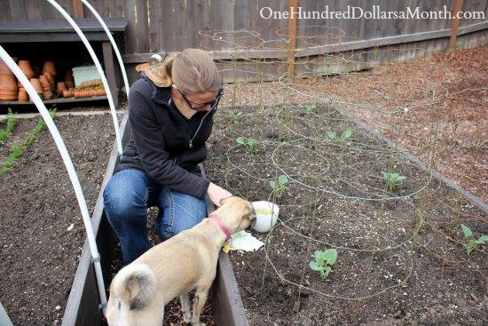 mavis garden blog planting peas