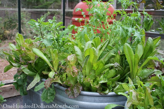 lettuce in containers