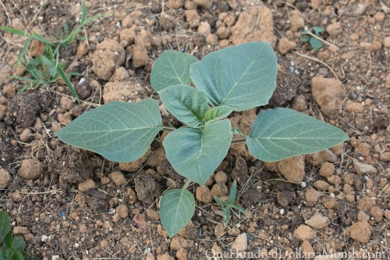 fake parsnip plant