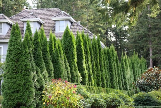 arborvitae-privacy-hedge