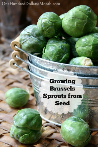 Growing Brussels Sprouts from Seed