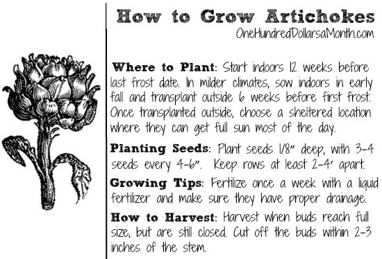 How-to-Grow-Artichokes