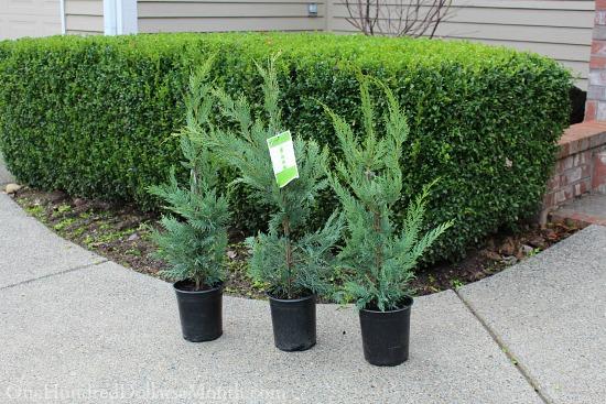 leland cypress trees