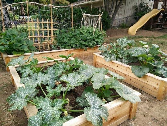 growing zucchini in cedar garden boxes