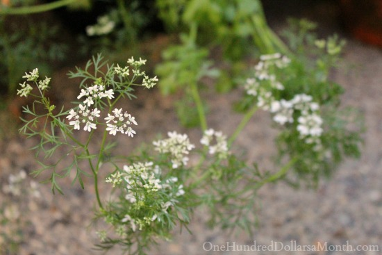 cilantro going to seed