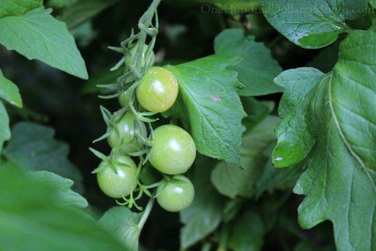 green cherry tomatoes
