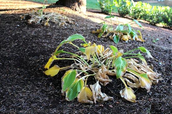 hosta plant in fall