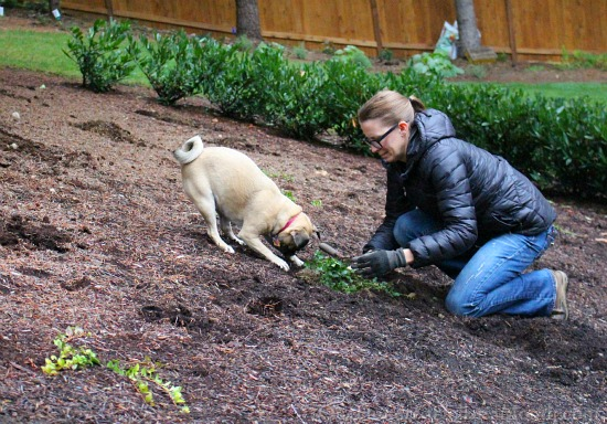lucy the puggle gardening vinca