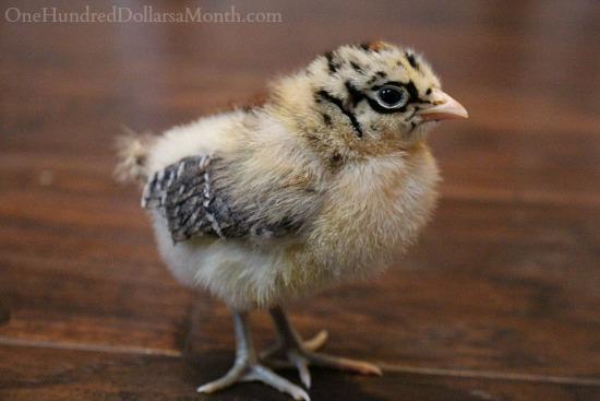 Sicilian Buttercup chick