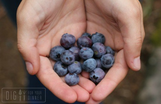 planting-blueberries