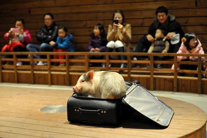 Destination: Icheon Pig Museum (Icheon, Gyeonggi-do)