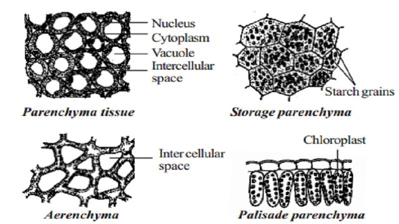 plant tissues diagram