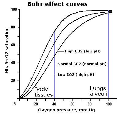 Bohr effect - Online Biology Notes